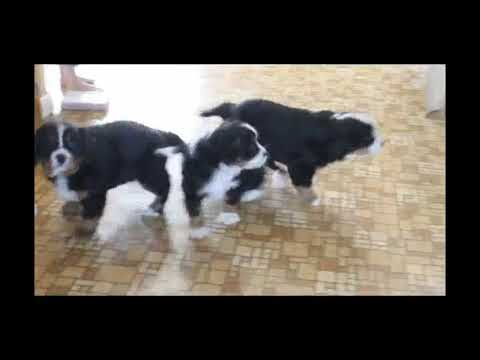 Mini Bernese Mountain Dog Puppies For Sale