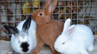 Молодняк кроликов пород НЗБ, НЗК, Калифорнийская в ЛПХ Ушко(Молодняк кроликов пород: Новозеландские белые, Новозеландские красные, Калифорнийские в ЛПХ