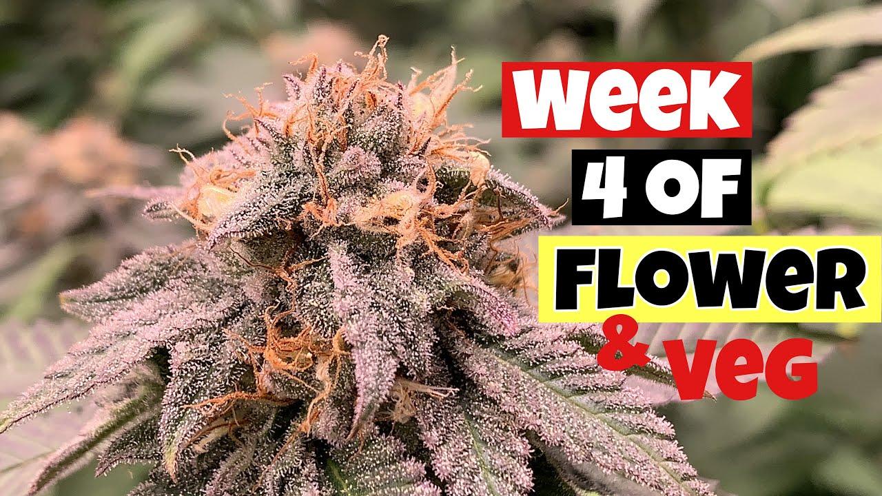 GROWING WEED INDOORS WEEK 4 OF FLOWER & VEG UNDER Mars fc6500 & sp6500