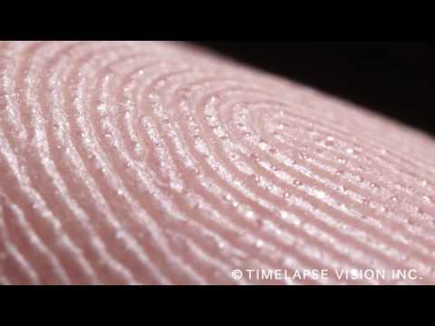 fingerprints and sweat glands - 指紋と汗腺 -