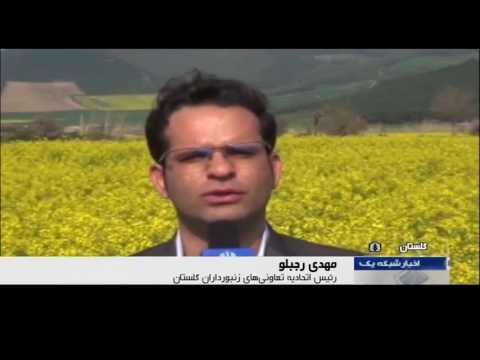 Iran Canola flowers & Honey Bee activities, Gorgan county گلهاي كلزا و زنبورهاي عسل گرگان ايران