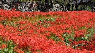常楽寺の彼岸花 Red Spider Lily of Jorakuji