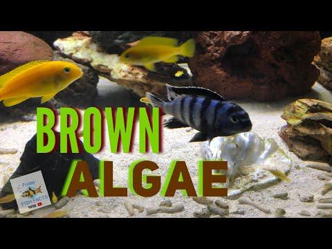 How To Eliminate BROWN ALGAE
