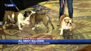 All About Bulldogs