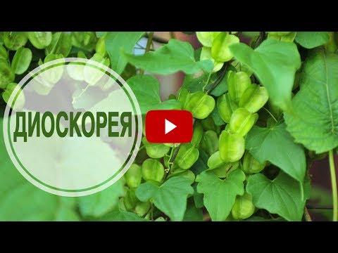 Диоскорея кавказская — лечебные свойства, применение и рецепты