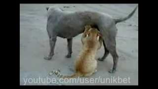 Собака грудью кормит кошку-Breast feeds her dog.