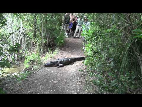 Shark Valley Gator Blocked Our Path - Ranger's to the Rescue