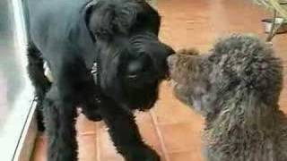 Giant Schnauzer and Poodle Bone Fight Standoff