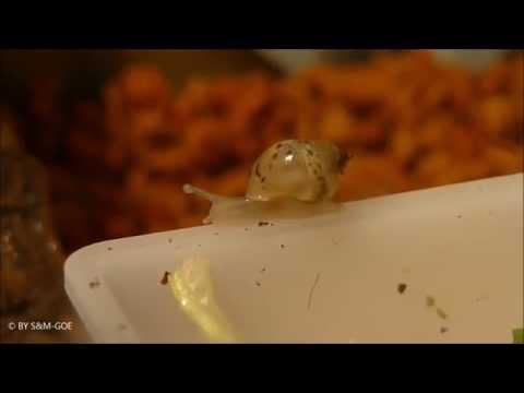 Achatina fulica rodatzii Baby