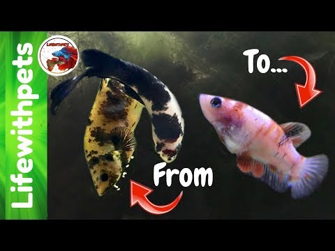 Betta Fish Fry From Birth To 4 Months