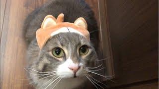 柴犬になった猫 ノルウェージャンフォレストキャト A cat who became a Shiba Inu.Norwegian Forest Cat. thumbnail