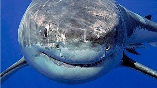 Документальные фильмы Суперхищники Большая белая акула Документальный фильм