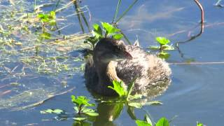 pato nadando   se le ven las patas Mvi 1598
