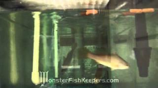 Feeding Hikari Jumbo Carnisticks : African Perch : Lates sp. : MonsterFishKeepers.com : HD Quality