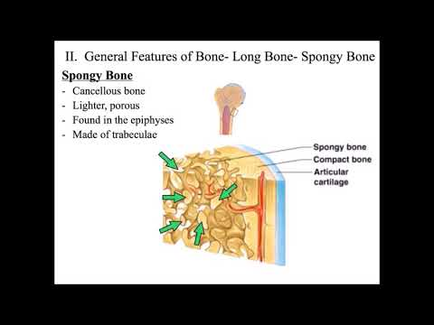 Chapter 6  Bone, Ossification, Repair  Lecture  Final  PlayPosit