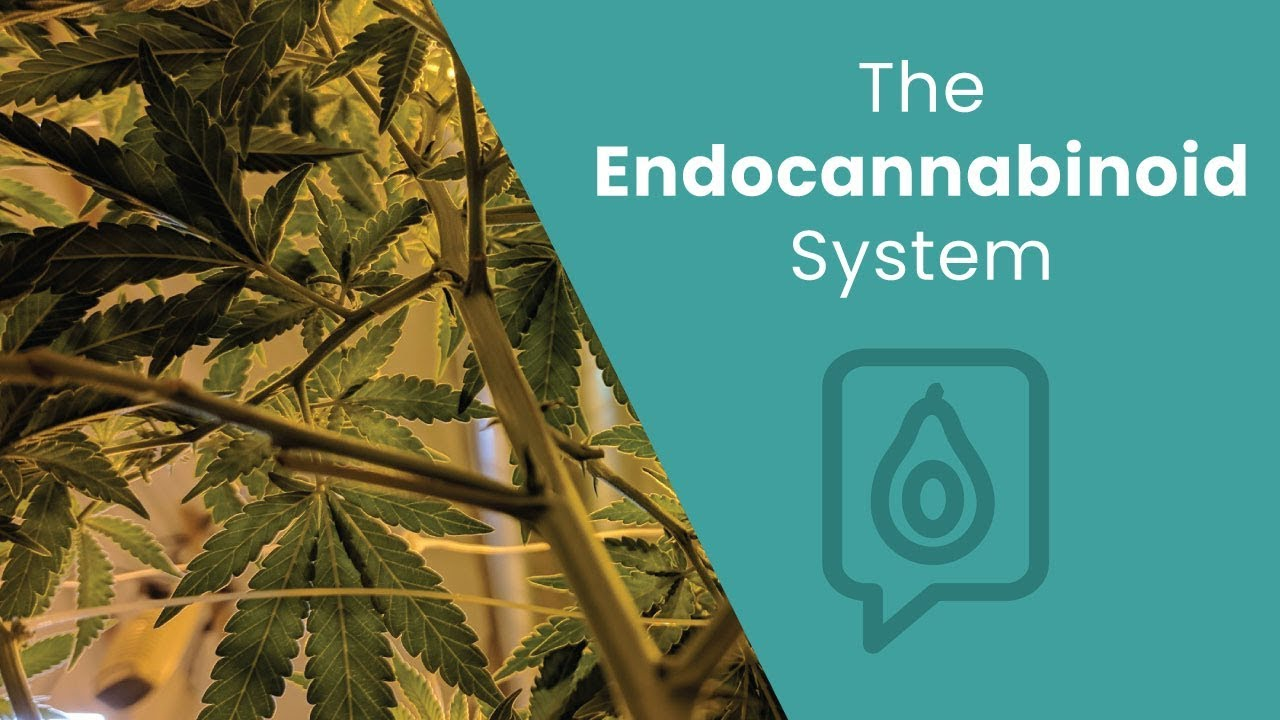 What's the Endocannabinoid System?   Dr. Josh Axe