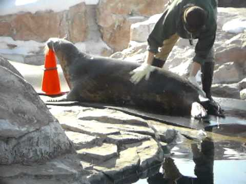Seal training at brookfield zoo.