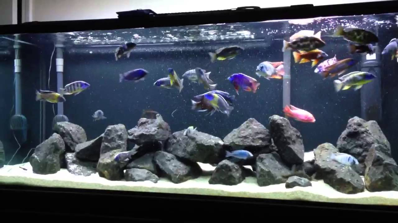Very active african peacock and hap tank crystal clear for African cichlid rock decoration