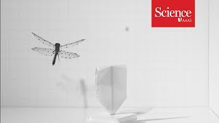 The secret to the dragonfly's backwards flight