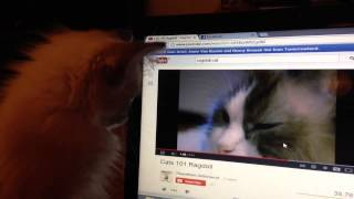 Ragdoll kitten watching cats 101