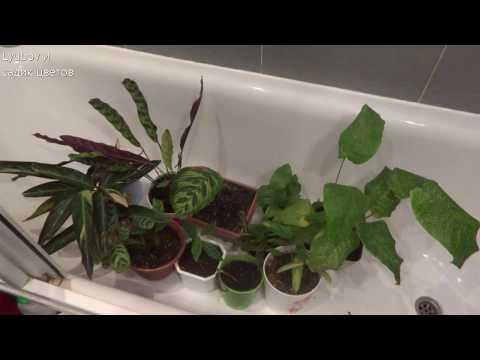 Комнатные цветы/Марантовые/Пересадка растений/Калатеи/Осень 2019