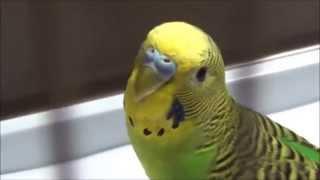 VLOG: Едим покупать волнистых попугаев/ ходим по магазинам!!!(, 2015-11-11T20:06:14.000Z)