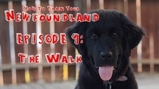 How To Train Your Newfoundland - Episode 1: The Walk