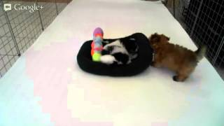 Star Yorkie Kennel - Playtime: Male Pomtese Peaches & Cream And Female Maltipoo World Peace