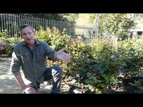 Rose Garden maintenance for beautiful blooms