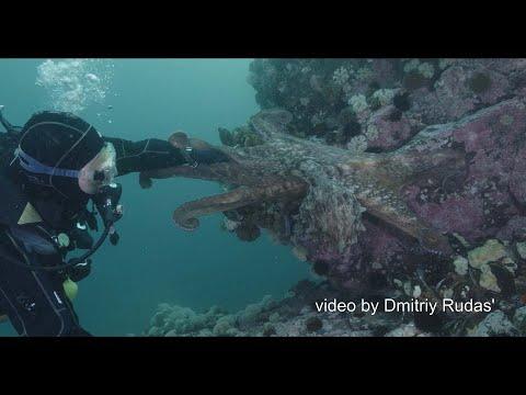 Гигантский осминог Дофлейна пытается обниматься подружится с дайвером