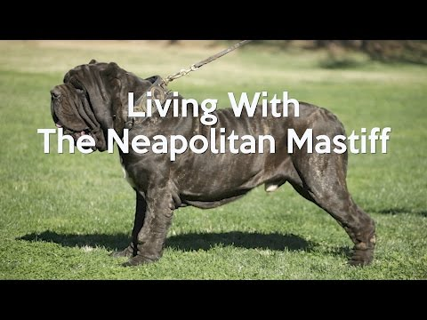 ALL ABOUT LIVING WITH NEAPOLITAN MASTIFFS