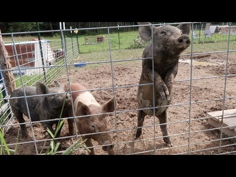 Training Pigs On Electric Fence!