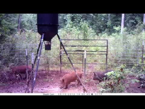 What To Do About Tennessee's Wild Hog Epidemic