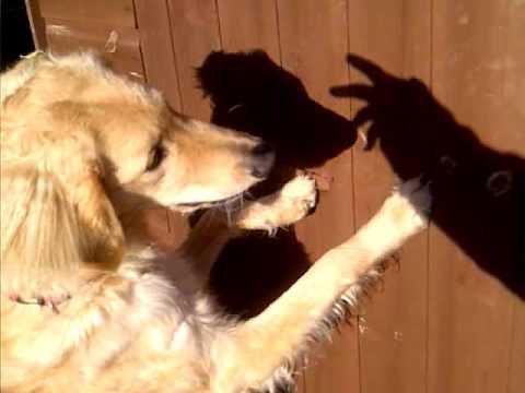 dog chasing shadows