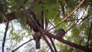 Burung Murai  (Magpie Robin) dan Merbuk (Serasi bersama)