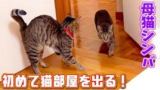 母猫シンバ行動範囲が広くなって初めて猫部屋から出る!