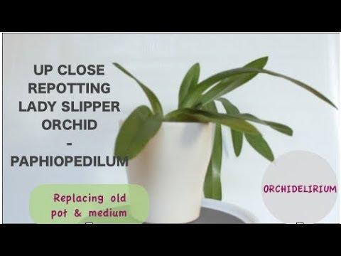 Up Close Repotting Lady Slipper Paphiopedilum Orchid