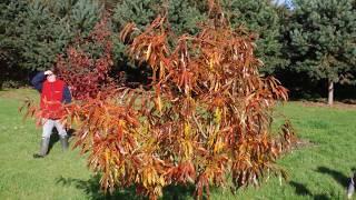 Quercus x schochiana video