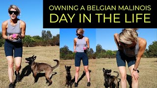 WHY I DON'T RECOMMEND A BELGIAN MALINOIS AS A PET