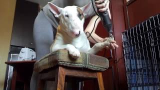 Как правильно стричь когти собаке если собака не дается  | Мастер-класс | Бультерьер Харт