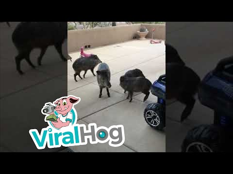 Wild Javelinas Make A Visit To Arizona Home || ViralHog