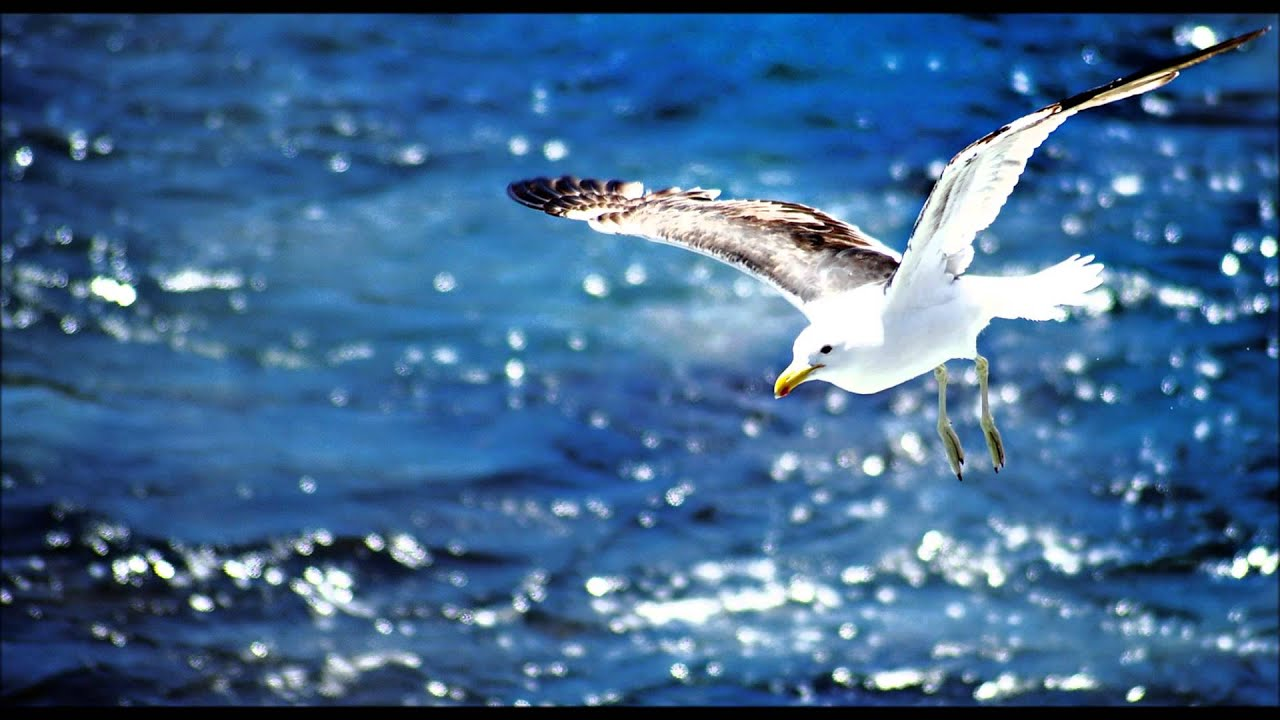 Seagull sounds youtube seagull sounds altavistaventures Image collections