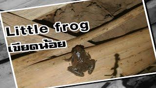 Vlog..เก็บเขียดน้อย หลายๆขนาดเลยครับ Many little frogs in Thailand