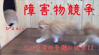 障害物競争、三匹目の子猫がかわいい!癒されよう サビイロネコ 検索動画 18