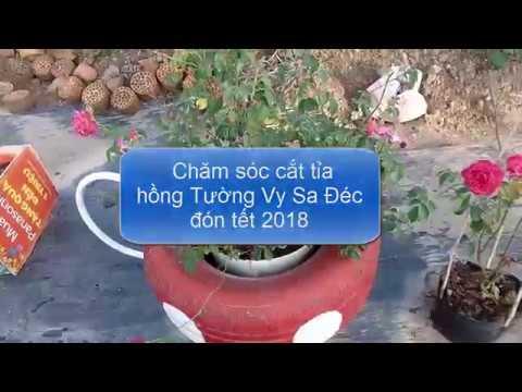 Cách trồng hoa hồng tường vy Sa Đéc: Cắt tỉa cành nhánh chuẩn bị tết 2018 (Tips for Pruning Roses)