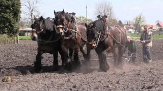 Belgian Draft Horses-ploughing a field of 7 acres