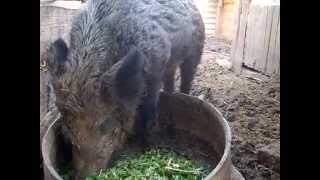 Обзор свиней породы Мангалица №2