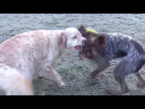 Otis English Setter & Wirehaired Pointer Snuggs playing very rough.