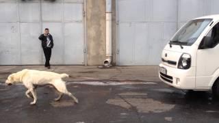 Armenian Wolfhound (gampr) named Khoda, pulls truck weighing 1.5 tons.
