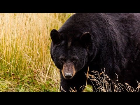 Missouri-has-received-thousands-applications-to-hunt-bears
